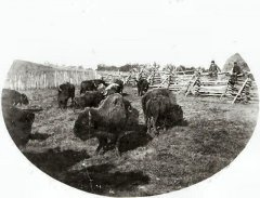 The Huber brothers brought a buffalo bull back from the West by using a buckboard with the floor removed as a travelling corral. This bull helped them form the only buffalo herd in the county since the white man had appeared in 1839. Prior to that, Father Louis Hennepin had…